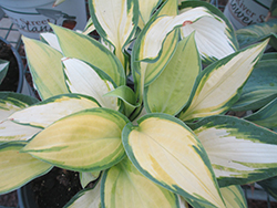 Happy Dayz Hosta (Hosta 'Happy Dayz') at Cal's Market & Garden Center