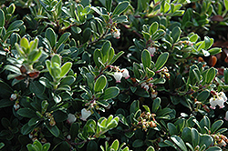 Massachusetts Bearberry (Arctostaphylos uva-ursi 'Massachusetts') at Cal's Market & Garden Center