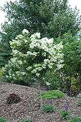Pink Diamond Hydrangea (tree form) (Hydrangea paniculata 'Pink Diamond (tree form)') at Cal's Market & Garden Center