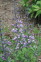 Purple Smoke False Indigo (Baptisia 'Purple Smoke') at Cal's Market & Garden Center
