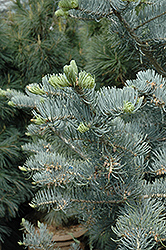 Candicans White Fir (Abies concolor 'Candicans') at Cal's Market & Garden Center