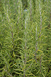 Upright Rosemary (Rosmarinus officinalis 'Upright') at Cal's Market & Garden Center