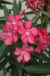 Oleander (Nerium oleander) at Cal's Market & Garden Center
