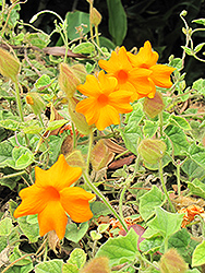 Orange Clock Vine (Thunbergia gregorii) at Cal's Market & Garden Center