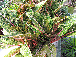 Pink Sapphire Chinese Evergreen (Aglaonema 'Pink Sapphire') at Cal's Market & Garden Center
