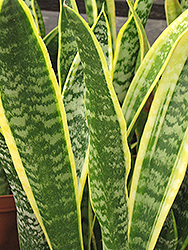 Striped Snake Plant (Sansevieria trifasciata 'Laurentii') at Cal's Market & Garden Center