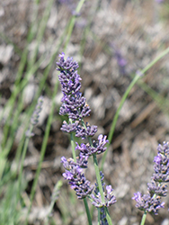 Hidcote Giant Lavender (Lavandula x intermedia 'Hidcote Giant') at Cal's Market & Garden Center