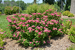 Double Play® Red Spirea (Spiraea japonica 'SMNSJMFR') at Cal's Market & Garden Center