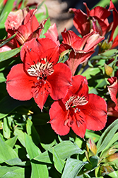 Colorita® Kate® Alstroemeria (Alstroemeria 'Zaprikate') at Cal's Market & Garden Center