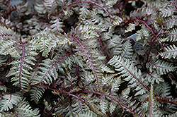Regal Red Painted Fern (Athyrium nipponicum 'Regal Red') at Cal's Market & Garden Center