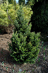 Pyramidalis Silver Fir (Abies alba 'Pyramidalis') at Cal's Market & Garden Center