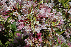 Rainbow Sensation® Weigela (Weigela florida 'Kolmagira') at Cal's Market & Garden Center