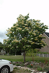 Japanese Tree Lilac (Syringa reticulata) at Cal's Market & Garden Center