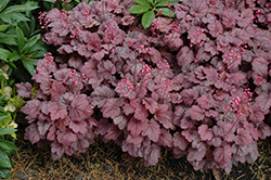 Grape Soda Coral Bells (Heuchera 'Grape Soda') at Cal's Market & Garden Center