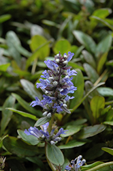 Blueberry Muffin Bugleweed (Ajuga reptans 'Blueberry Muffin') at Cal's Market & Garden Center