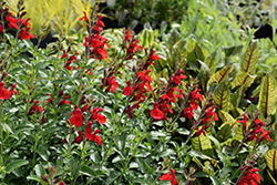 Radio Red Autumn Sage (Salvia greggii 'Radio Red') at Cal's Market & Garden Center