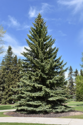 Blue Colorado Spruce (Picea pungens 'var. glauca') at Cal's Market & Garden Center