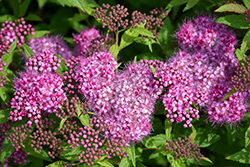 Anthony Waterer Spirea (Spiraea x bumalda 'Anthony Waterer') at Cal's Market & Garden Center