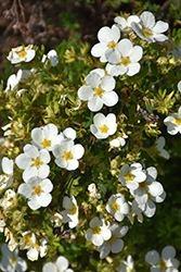 McKay's White Potentilla (Potentilla fruticosa 'McKay's White') at Cal's Market & Garden Center