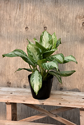Silver Bay Chinese Evergreen (Aglaonema 'Silver Bay') at Cal's Market & Garden Center