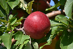 Haralred Apple (Malus 'Haralred') at Cal's Market & Garden Center